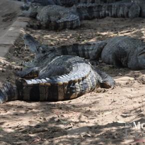 Ferme aux crocodiles - delta du Mekong